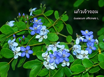 Kaew Chao Chom – the Flower of SSRU